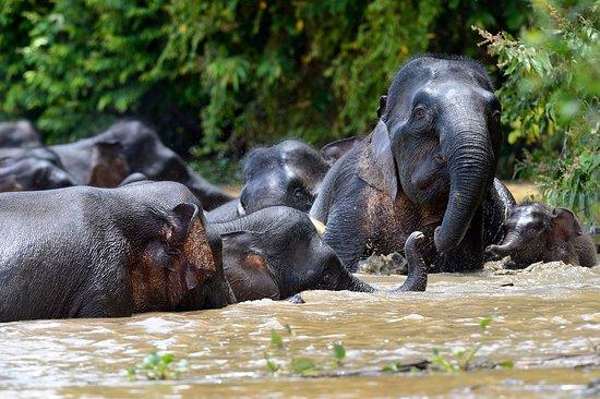 Kinabatangan District, Malaysia: Bornean Pygmy Elephants playing in the river