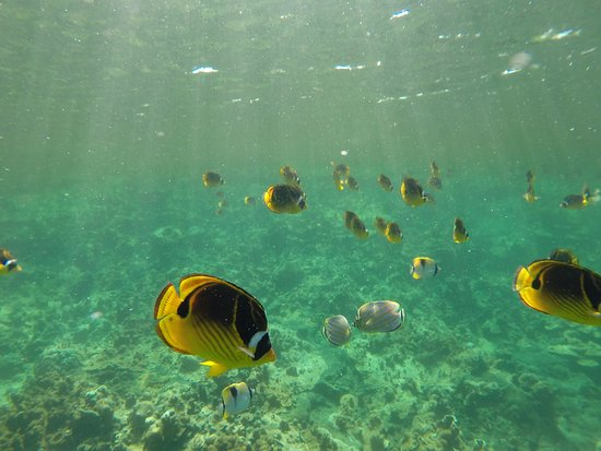 Pahoa, Hawái: Clouds of raccoon butterflyfish just floating around.