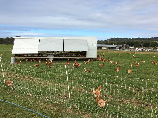 Ewingsdale, Australia: Chickens!