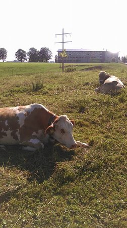 Nesselwang, Germany: Alpine cows near the hotel.