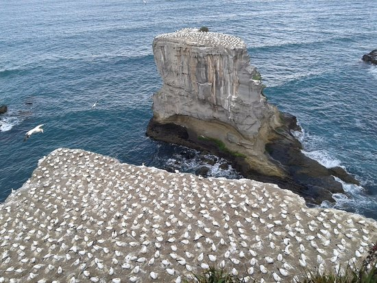 Muriwai Beach, Nueva Zelanda: The gannets colony