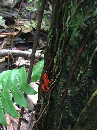 Pueblo de Bocas, Panamá: on the path we saw the tiny frogs!