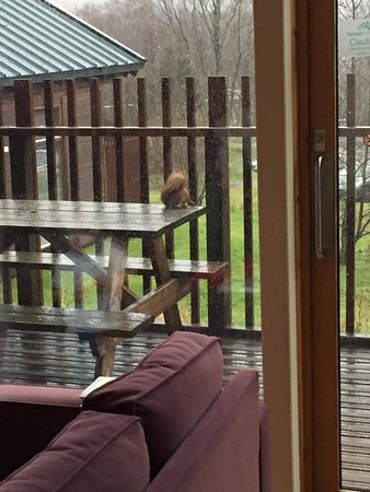 Callander, UK: Our visiting red squirrel.
