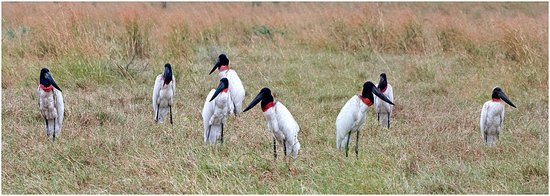 Nicoya, Costa Rica: 10 Jabiru´s together