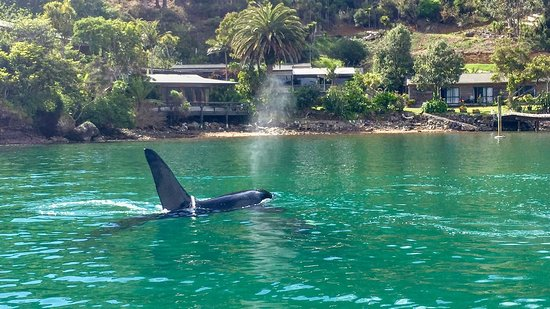 Whangaroa, New Zealand: orcas in the harbour