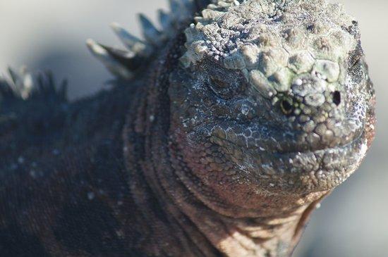 Espanola, Ecuador: Galapagos Land Iguana