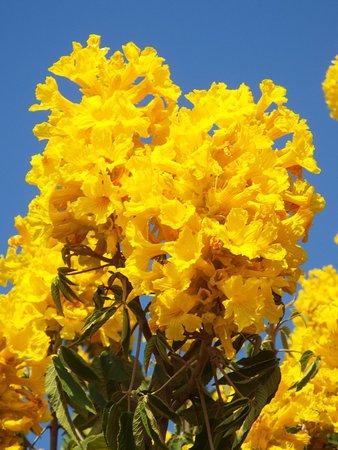 Wahiawa, Hawái: Flowers on the tree in the front yard