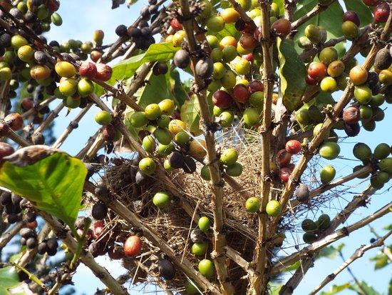 Wahiawa, Hawái: Birds nest in a coffee tree
