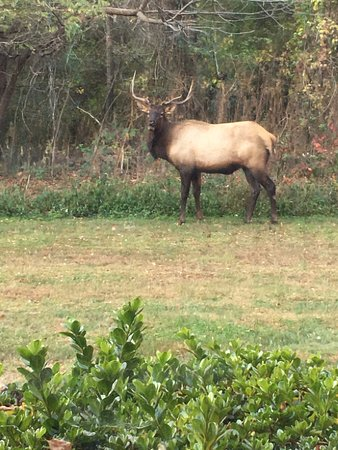 Baymont Inn & Suites Cherokee Smoky Mountains: A Elk located outside of our room! Nov. 12, 2016