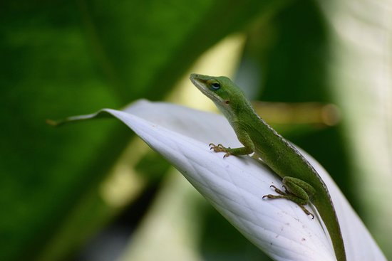 Oahu Photography Tours: A Madagascar gecko found in Waimei Falls Park