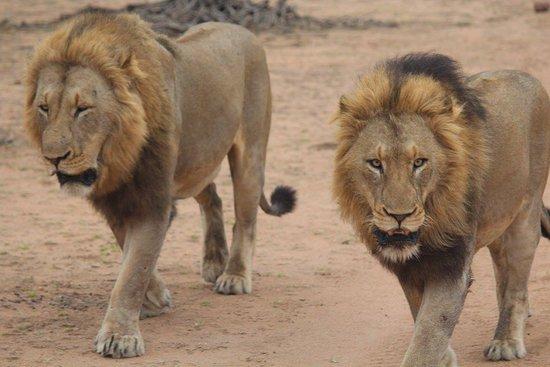 Lion Sands River Lodge لوحة