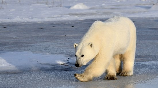 Seal River, Canadá: Polar Bear walking by us while we were out on one of our morning hikes.