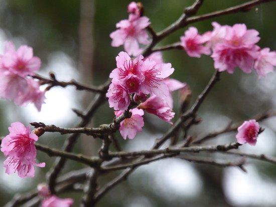 アーラ林道で咲いていた寒緋桜 -...