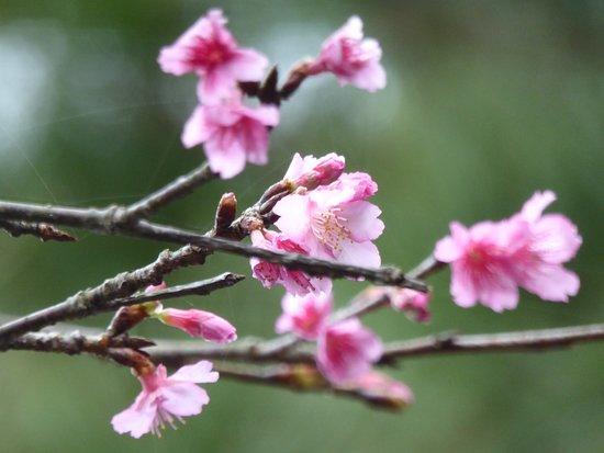 Kumejima-cho, Japón: アーラ林道で咲いていた寒緋桜2