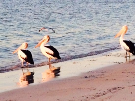 Pelicans at Marion Bay beach