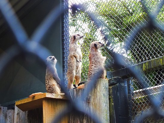 New Plymouth, New Zealand: meerkat