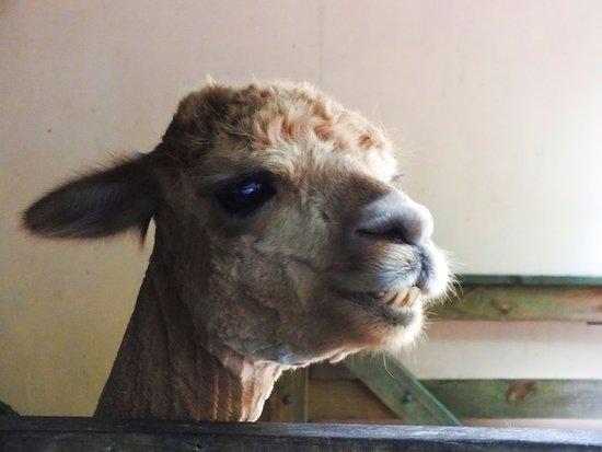 New Plymouth, New Zealand: lama