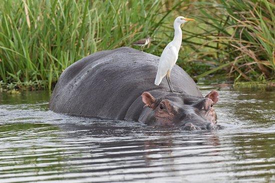Murchison Falls National Park, Uganda: Hippo mit Fahrgästen