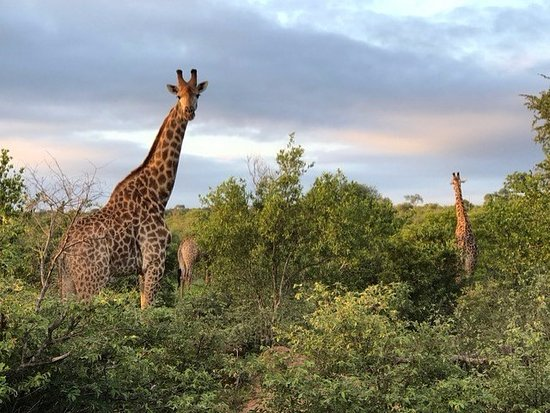 Timbavati Private Nature Reserve, แอฟริกาใต้: Giraffe Simbavati