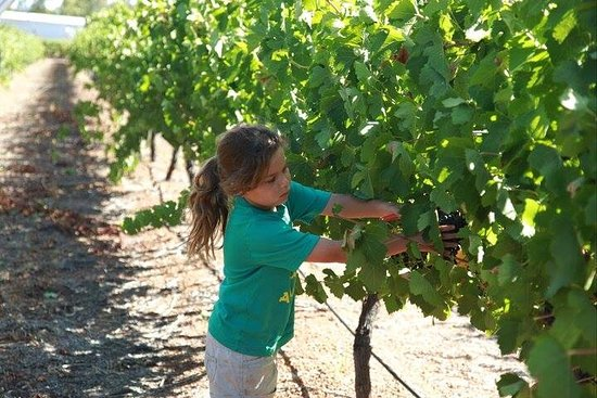Swan Valley, ออสเตรเลีย: Our youngest picker Charlotte