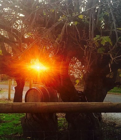 Swan Valley, ออสเตรเลีย: Sunset through the branches of our beautiful Fig tree