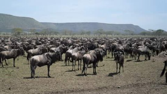 Región de Arusha, Tanzania: Great migration of wildebeest