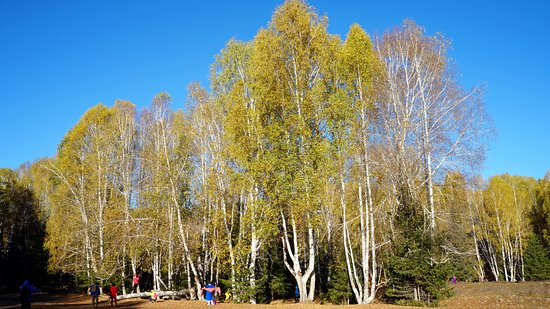 Burqin County, China: Birch Forest