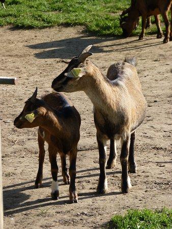 Saint Cyr l'Ecole, Frankrike: Ferme de Gally, chèvre et chevreau
