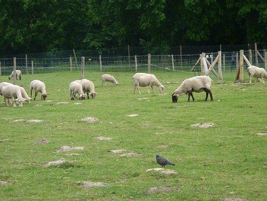Saint Cyr l'Ecole, Frankrike: Ferme de Gally, enclos des moutons