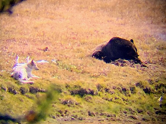 Gardiner, MT: Wolf waiting for bear to finish with dead bison