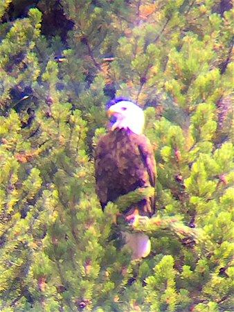 Gardiner, Μοντάνα: bald eagle