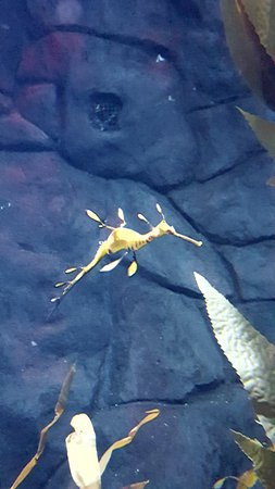Newport, KY: Leafy Sea Dragon