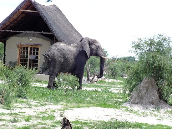 Nata, Botsuana: With chalets close together the Elephant has to pick his route out..