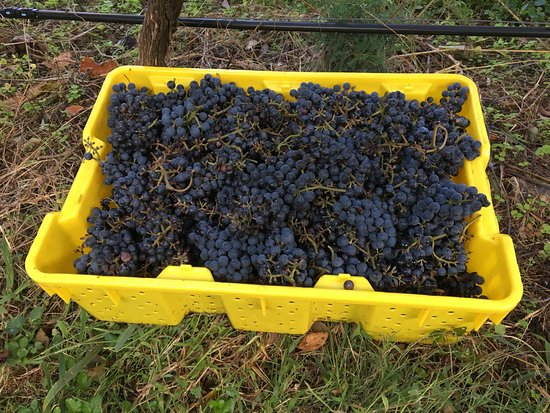 Madison, VA: 2016 Fall Norton Harvest at DuCard