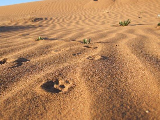 Atmospher Erg Chigaga: Au réveil, les traces de rongeurs, oiseaux et insectes dans le sable