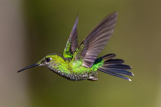 Bajos del Toro, Costa Rica: Hummingbird (Green-crowned Brilliant) at the feeder
