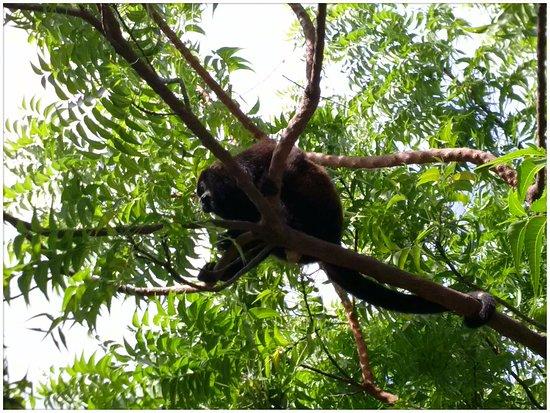 Mango Rosa Nicaragua: Howler Monkeys