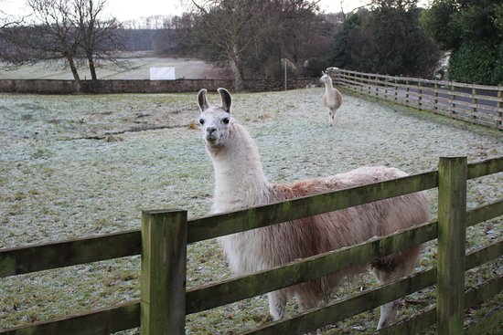 Leyburn, UK: Lamas in the farm