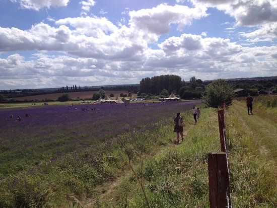 Hitchin Lavender from the top of the public footpath looking back at the Teepee.