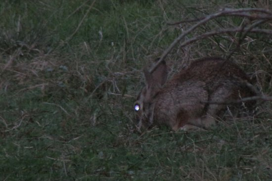 Burnet, TX: Rabbit