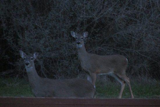 Burnet, TX: Deer at the Belle Oaks