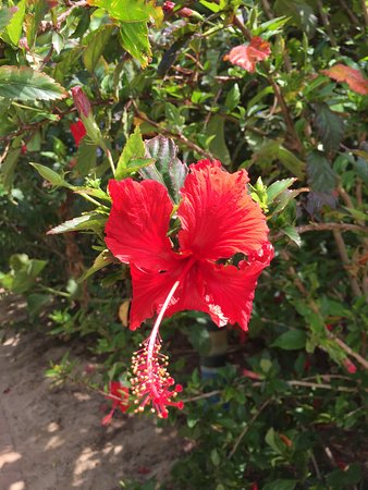 Great Keppel Island, Australien: nice hibiscus flowers in bloom everywhere