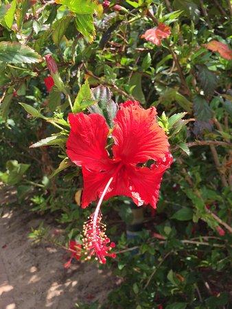 Great Keppel Island, Austrália: nice hibiscus flowers in bloom everywhere