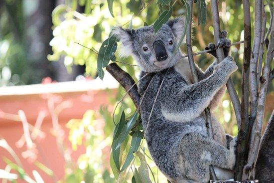 Currumbin, Australien: Koala