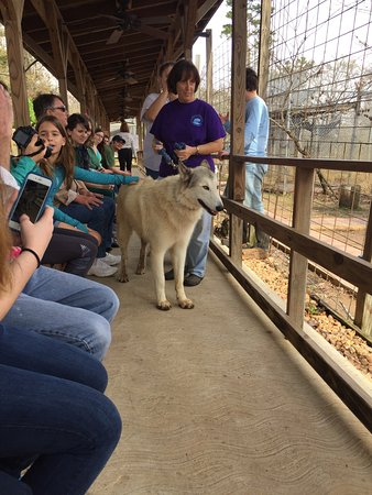 Montgomery, TX: Up close with a wolf dog
