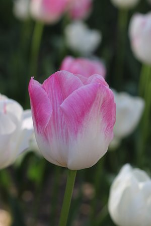Sutton, Australia: Tulips come in all different shapes, sizes and colours