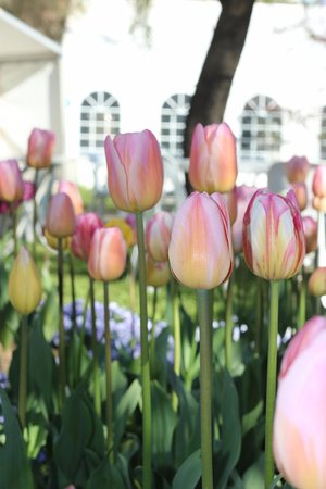 Sutton, Australia: If you can draw your eyes away from the stunning tulips, you'll see the food marquee :)