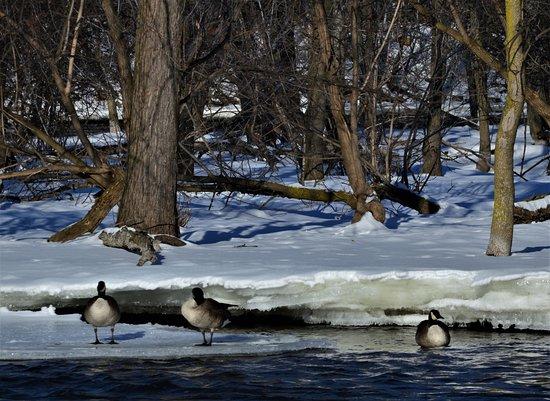 Kaukauna, WI: Wild Geese