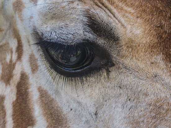 Бусуанга, Филиппины: If someone tells you your eyes are like those of a giraffe, it is a compliment!