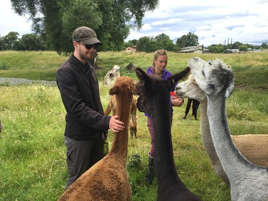 Fairlie, Nya Zeeland: Many friendly alpacas!